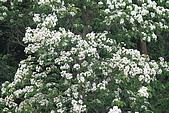 開麥拉-油柌花:IMG_5211.JPG