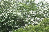 開麥拉-油柌花:IMG_5221.JPG