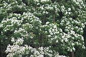 開麥拉-油柌花:IMG_5210.JPG