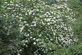 開麥拉-油柌花:IMG_5226.JPG