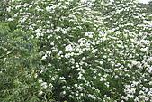 開麥拉-油柌花:IMG_5225.JPG