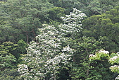 開麥拉-油柌花:IMG_5208.JPG