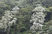 開麥拉-油柌花:_MG_5214.JPG
