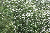 開麥拉-油柌花:IMG_5224.JPG
