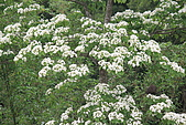 開麥拉-油柌花:IMG_5212.JPG