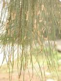 木麻黃與金門:雄花.jpg