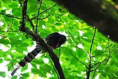 陽明山-台灣藍鵲:DSC_0030.jpg