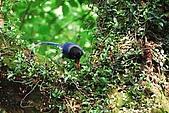 陽明山-台灣藍鵲:DSC_0033.jpg