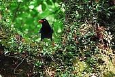 陽明山-台灣藍鵲:DSC_0036.jpg