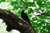 陽明山-台灣藍鵲:DSC_0037.jpg
