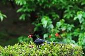陽明山-台灣藍鵲:DSC_0041.jpg