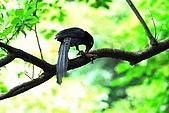陽明山-台灣藍鵲:DSC_0043.jpg