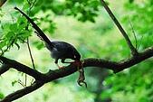 陽明山-台灣藍鵲:DSC_0047.jpg