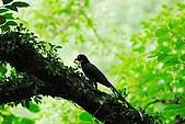 陽明山-台灣藍鵲:DSC_0003.jpg