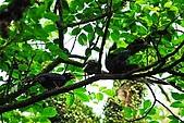 陽明山-台灣藍鵲:DSC_0004.jpg