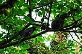 陽明山-台灣藍鵲:DSC_0007.jpg