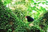 陽明山-台灣藍鵲:DSC_0010.jpg