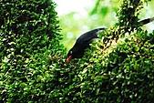 陽明山-台灣藍鵲:DSC_0016.jpg
