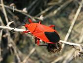 星椿總科:頸紅椿象.JPG