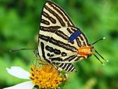 蝴蝶:標記蝶