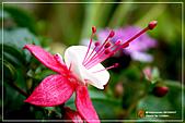 植物譜:IMG_9206.jpg