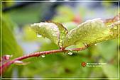 植物譜:IMG_9295.jpg