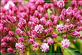 植物譜:IMG_9184.jpg