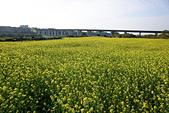 輕旅行In新竹:油菜花田10.jpg