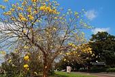 福爾摩沙之美:黃花風鈴木1.jpg