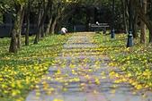 福爾摩沙之美:黃花風鈴木3.jpg