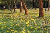 福爾摩沙之美:黃花風鈴木4.jpg