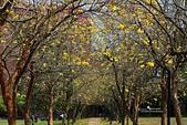 福爾摩沙之美:黃花風鈴木5.jpg