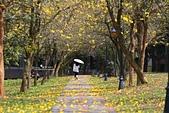 福爾摩沙之美:黃花風鈴木6.jpg