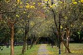 福爾摩沙之美:黃花風鈴木8.jpg