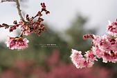 武陵-櫻姿花傳:武陵櫻花PO12.jpg