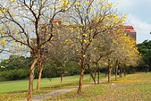 福爾摩沙之美:黃花風鈴木11.jpg