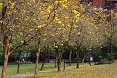 福爾摩沙之美:黃花風鈴木12.jpg