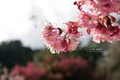 武陵-櫻姿花傳:武陵櫻花PO19.jpg