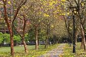 福爾摩沙之美:黃花風鈴木15.jpg