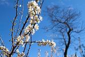 數碼天空-櫻:數碼天空山櫻10.jpg