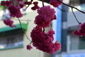 2014年台中市北屯區文昌國小櫻花開滿園:DSC_0339.JPG