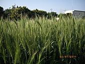2011台中市大雅區大林路小麥田:大雅區小麥田