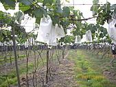 溪湖葡萄-香又甜:自然農法套袋葡萄6