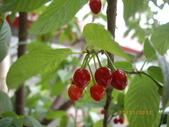 山櫻花的果實:IMGP2762.JPG