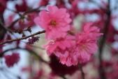 2014年台中市北屯區文昌國小櫻花開滿園:DSC_0507.JPG