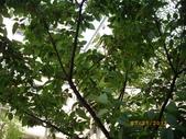 山櫻花的果實:IMGP2770.JPG