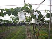 溪湖葡萄-香又甜:自然農法套袋葡萄10