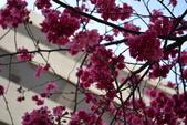 2014年台中市北屯區文昌國小櫻花開滿園:DSC_0345.JPG