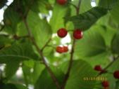 山櫻花的果實:IMGP2764.JPG