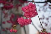 2014年台中市北屯區文昌國小櫻花開滿園:DSC_0273.JPG